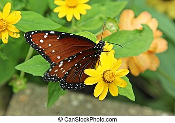 Queen butterfly aka Danaus gilippus nectars on a yellow...