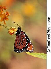 Queen butterfly, Danaus gilippus