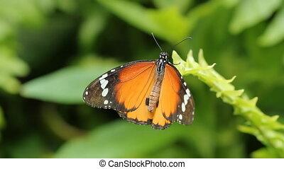Queen butterfly. Wide shot. - A queen butterfly on a green...