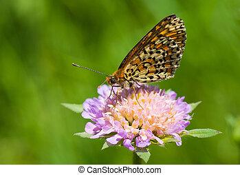Queen of Spain Fritillary butterfly sucking nectar from a summer flower.