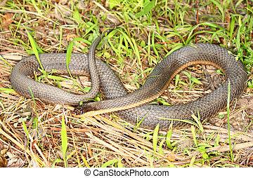 Queen Snake (Regina septemvittata) in the Des Plaines River...