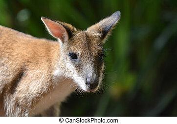 Queensland, ágil,  Austrália,  wallaby
