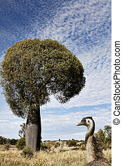 Queensland bottle tree with emu in the foreground