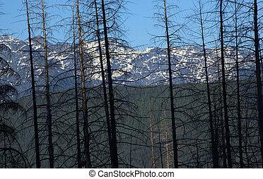 quemado, árboles, parque nacional del glaciar