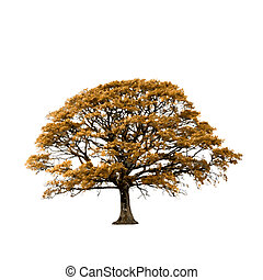 quercia, autunno, albero, astratto