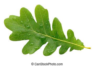 quercia, foglia verde, con, gocce acqua, isolato, bianco, fondo