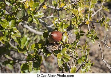 quercus, coccifera, kermes, roble