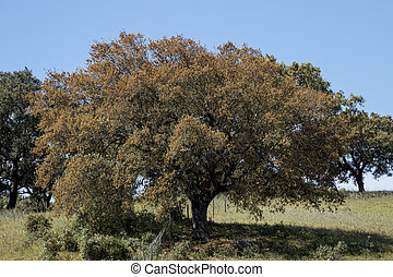 Quercus ilex tree - View of quercus ilex tree landscape in...