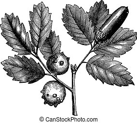Quercus lusitanica or Gall Oak vintage engraving