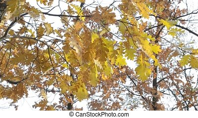 Quercus robur. Branches with yellow foliage of English oak...