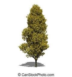 Quercus robur 'Fastigiata' (autumn)