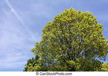 Quercus serrata tree - Fresh green quercus serrata tree...