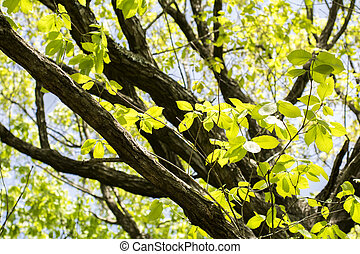 Quercus serrata tree trunk and fresh green leaves