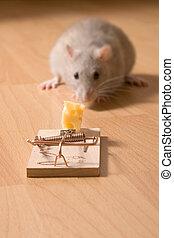 queso, rata