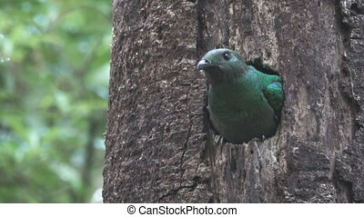 Quetzal bird showing head on tree hole nest, female - Long...