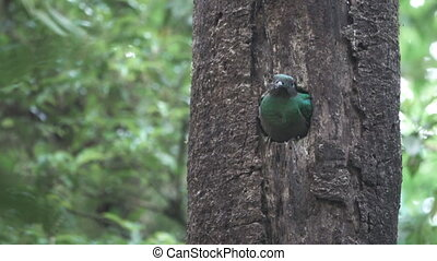 Quetzal bird showing head on tree hole nest - Long shot of...