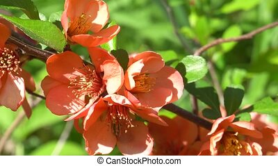 Quince branch blooming in spring on a Sunny day