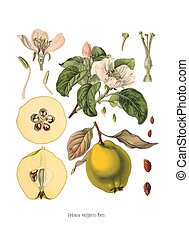 Quince Cydonia oblonga Old Antique bothanical print - ...