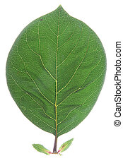 Quince (Cydonia oblonga) - one leaf of quince (Cydonia ...