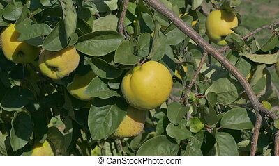 Quince fruit at tree branch