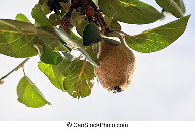 Quince fruit grows on a tree branch