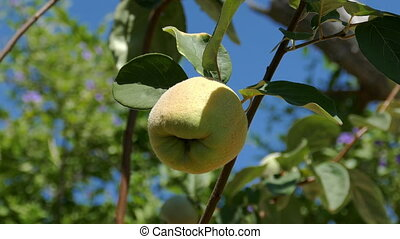 Quince Fruit on the Branch Tree