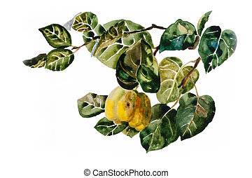Quince fruit on the twig with leaves watercolor painting
