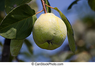 Cydonia oblonga - quince fruit on tree, Cydonia oblonga