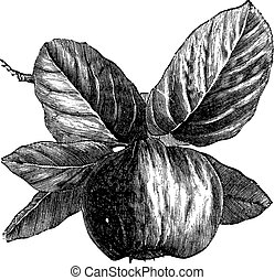 Quince or Cydonia oblonga vintage engraving - Quince or ...