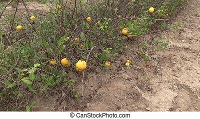 quince plant fruit