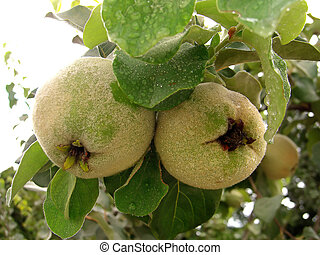 Quince tree - two quince fruit hanging from the tree with ...