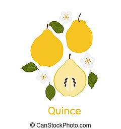 Quince. Vector Illustration EPS. Isolated Background.