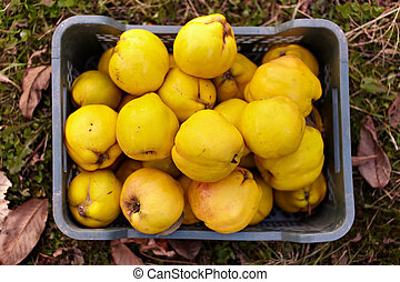 Quinces in a crate on grass