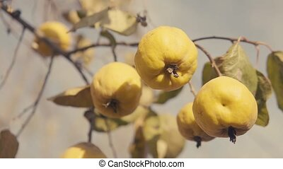 Quinces on the tree. Cinematic color style. S-log 4k video -...
