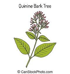 Quinine Bark Tree Cinchona officinalis , medicinal plant. Hand drawn botanical vector illustration