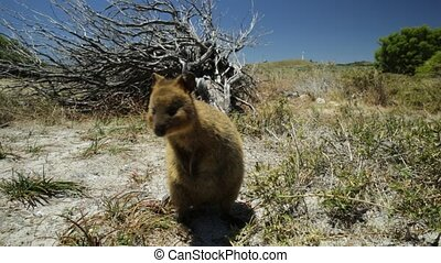 Quokka at Rottnest Island - A standing cute Quokka outdoors...