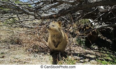 Quokka Rottnest Island - A friendly Quokka on Rottnest...