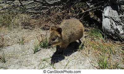 A wild Quokka outdoors in Rottnest Island, Western Australia with sunset light. Quokka is the symbol and icon of the island near Perth in Australia.