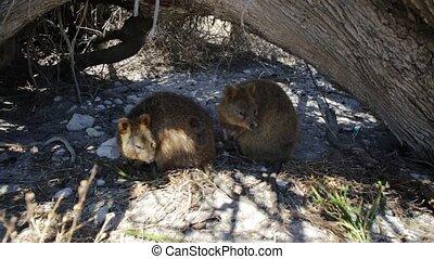 Quokka Rottnest Island - Two Quokka outdoors in Rottnest...
