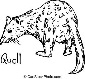 quoll - vector illustration sketch hand drawn with black...