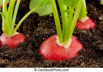 rábano, orgánico, grows, suelo
