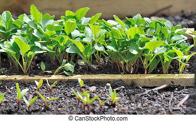 rábano, plantas de semilla
