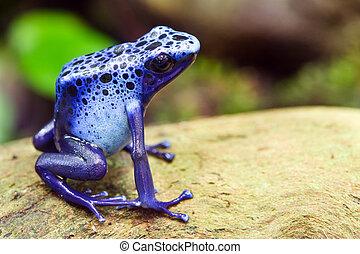 râ azul dart veneno, azureus dendrobates, em, seu, natural,...