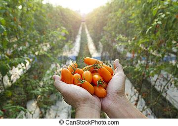 räcka lämna, tomat, frisk, bonde
