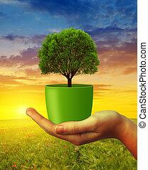 räcker, holdingen, träd, in, kruka, hos, sunset.