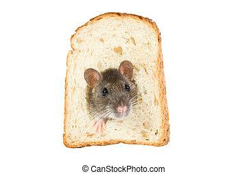 råtta, in, bread, hål