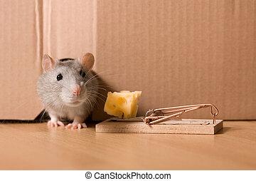 råtta, musfälla, och ost