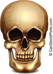 réaliste, vecteur, crâne