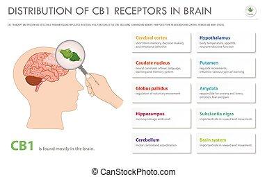 récepteurs, business, infographic, cerveau, distribution, horizontal, cb1