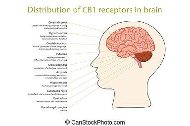 récepteurs, cb1, cerveau, distribution